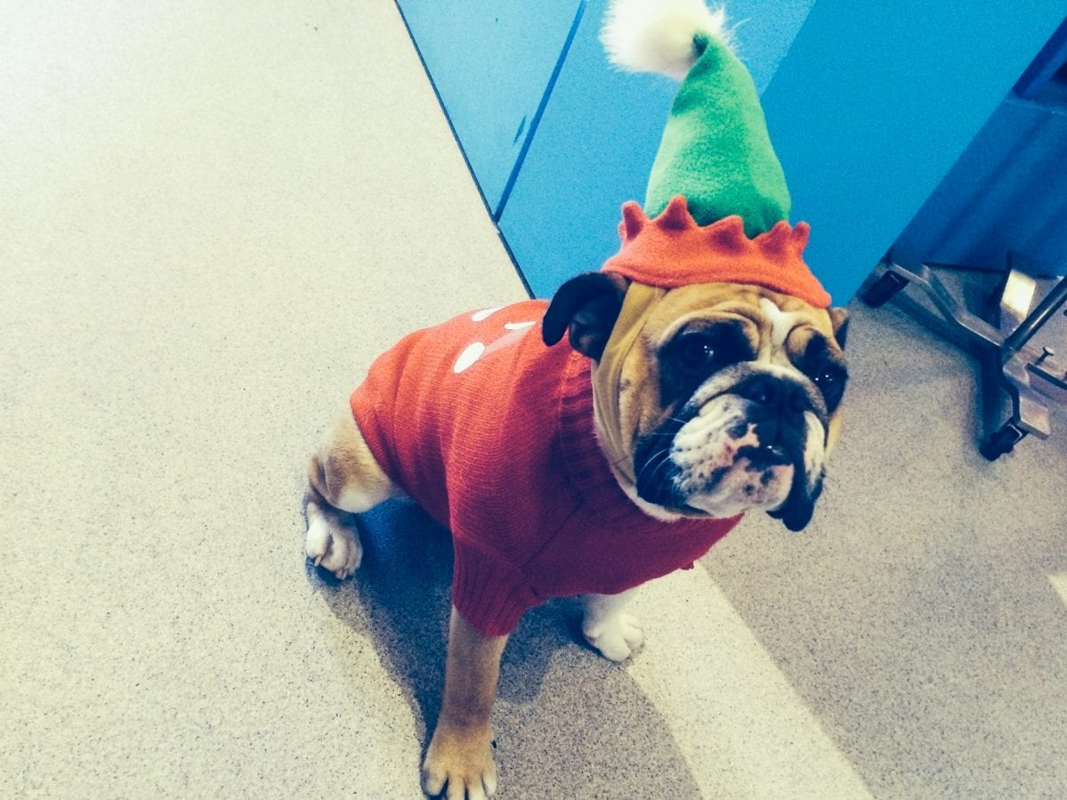 bull dog wearing an elf hat and Christmas sweater
